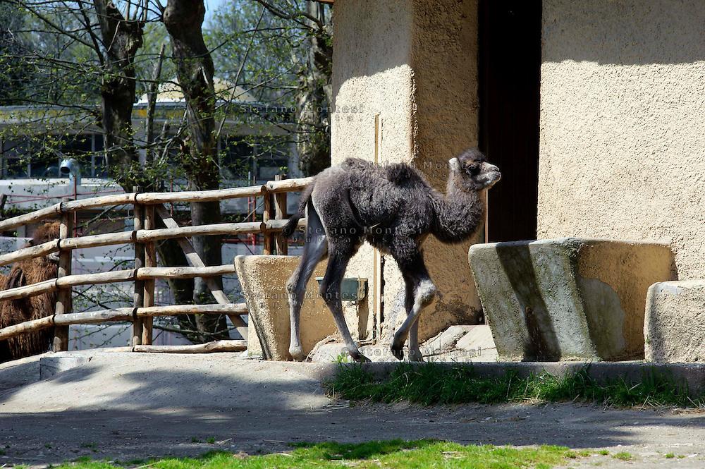 Roma 10 Aprile 2013.Al Bioparco di Roma è nata Amelia, femmina di Cammello della Battriana , (Camelus bactrianus). I genitori sono Soraya, di 4 anni, ed Erasmo, di 5. Entrambi provengono da zoo dei Paesi Bassi, dove sono nati. Soraya ha partorito Amelia, il suo primo cucciolo, dopo 13 mesi di gestazione. L'ultima nascita di un cammello al Bioparco risale al 1987. ll cammello della Battriana vive unicamente nel deserto del Gobi, un ambiente molto arido, dove le temperature oscillano dai - 29°C in inverno ai + 38°C in estate.