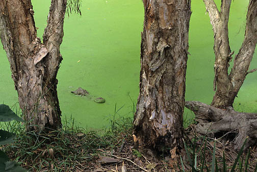 Saltwater Crocodile (Crocodylus porosus) in duckweed in a  pond in Australia.