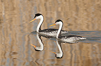 A pair of Clark's grebe their black head color does not go below their eyes.