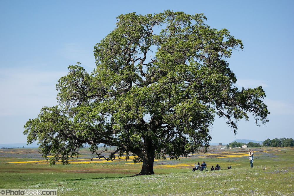 Wildflowers bloom around a majestic oak tree at North Table Mountain Biological Reserve, April 7, 2014, Oroville, California, USA. Created by ancient lava (basalt) flows, Table Mountain is an elevated basalt mesa with beautiful vistas of spring wildflowers, waterfalls, lava outcrops, and a rare type of vernal pool, called Northern Basalt Flow Vernal Pools.