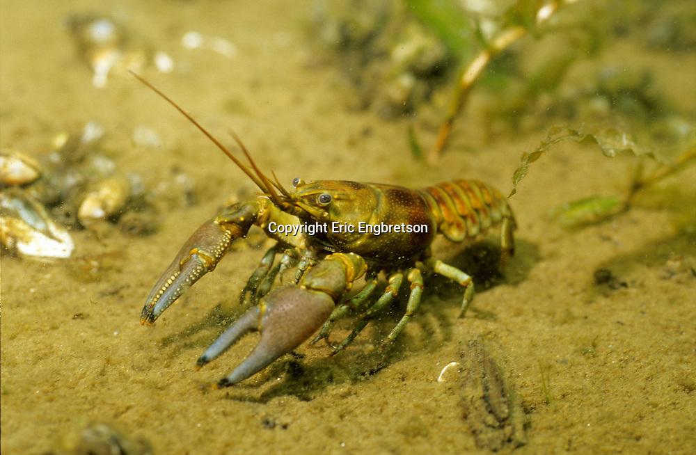 Rusty Crayfish<br /> <br /> ENGBRETSON UNDERWATER PHOTO
