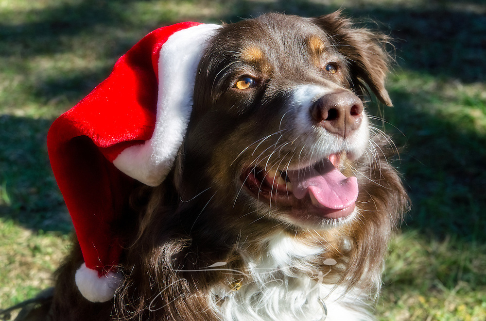 Cowboy, a red-tri Australian Shepherd, wears a Santa hat on Christmas Eve, Dec. 24, 2013. (Photo by Carmen K. Sisson/Cloudybright)