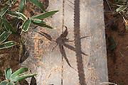 leaf and shadow of  a Kumazasa plant Japan