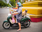01 AUGUST 2013 - BANGKOK, THAILAND: A dog on his owner's motorcycle at a stoplight on Ratchadamnoen Nok Avenue in the Dusit district of Bangkok.   PHOTO BY JACK KURTZ