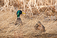 Drake and hen Mallard rests on the side of the marsh in early spring.