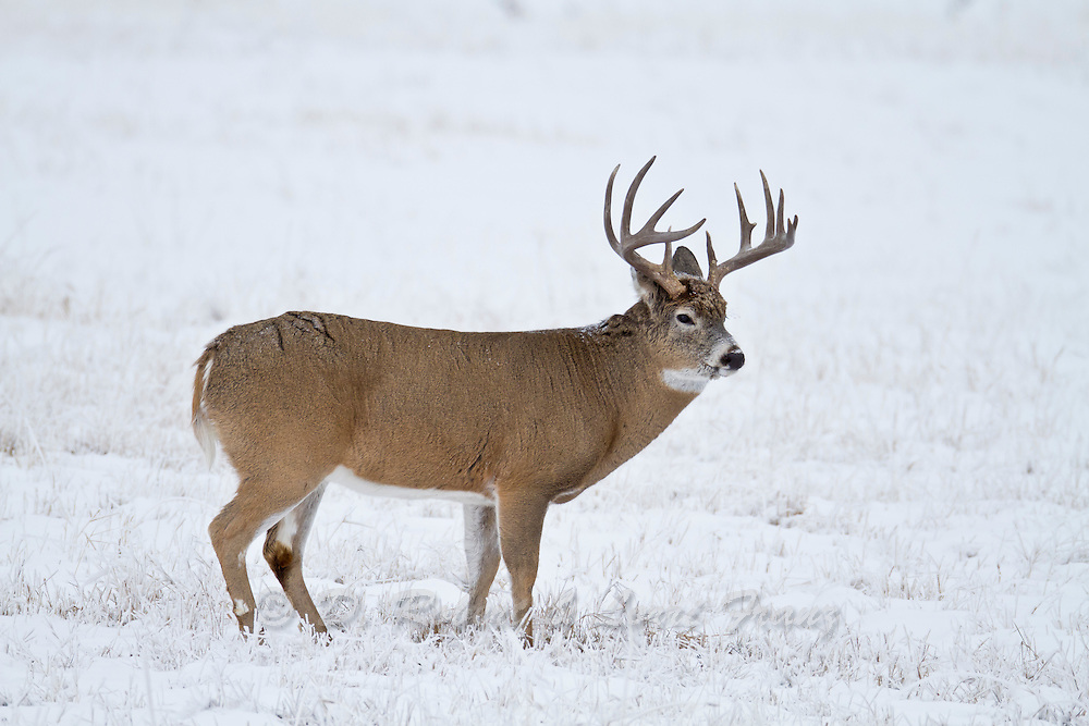 Wyoming whitetail buck in snow during rut