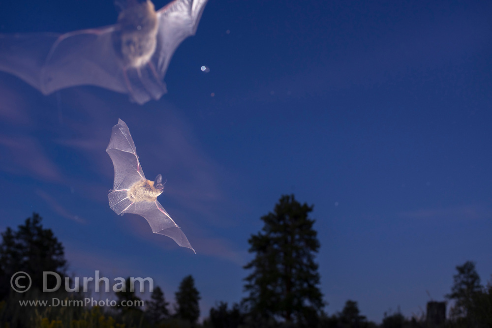 Bats flying at dusk in ponderosa forest in Central Oregon. © Michael Durham