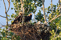 Kaiseradler, Paar am Nest, Aquila heliaca, Ost-Slowakei / Eastern Imperial Eagle pair at nest, Aquila heliaca, East Slovakia