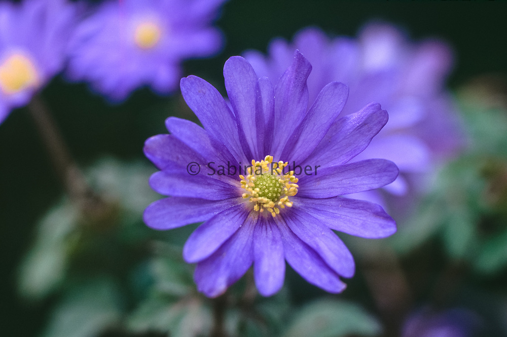 Anemone blanda - winter windflower