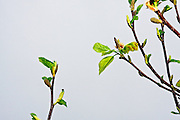 Budding tree branches with green and yellow leaves.