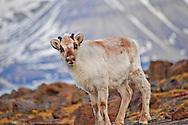 Alberto Carrera, Reindeer, Rangifer tarandus, Gipsvika, Sassenfjorden, Arctic, Spitsbergen, Svalbard, Norway, Europe