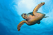 An endangered Hawksbill Sea Turtle, Eretmochelys imbricata, swims over a Palm Beach County, Florida, coral reef. Image available as a premium quality aluminum print ready to hang.