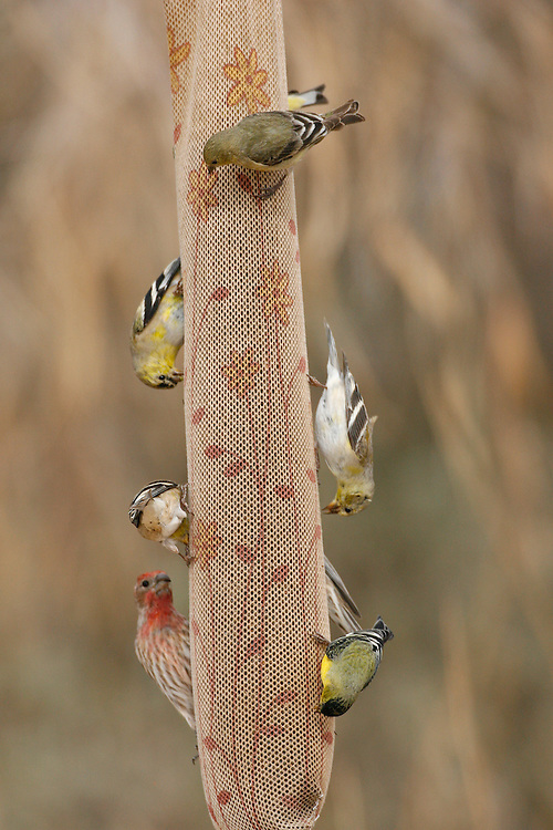American Goldfinches - Carduelis tristis, Lesser Goldfinches - Carduelis psaltria and  House Sparrow - Passer domesticus on thistle sock