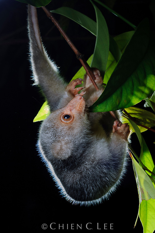 A juvenile Spotted Cuscus forages in a small tree for leaves and fruit at night. Papua, Indonesia.