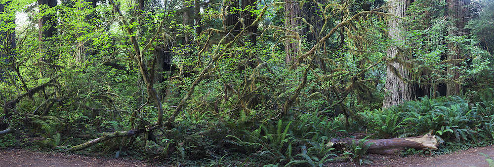 Panoramic Photo of Dense Temperate Rainforest, Prairie Creek Redwoods State Park, California