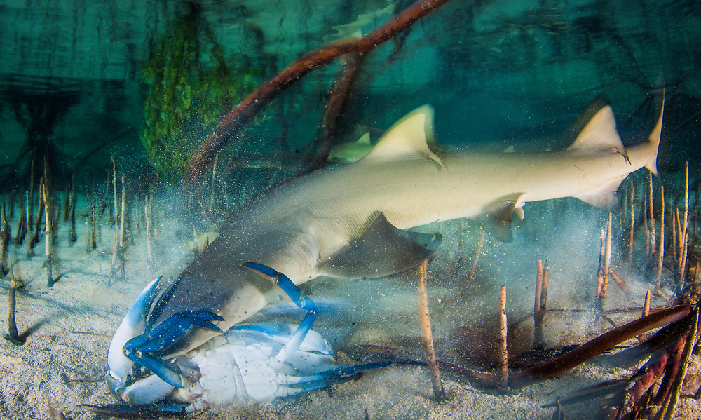 A lemon shark test-bites a large blue crab. The crab walked away unscathed.