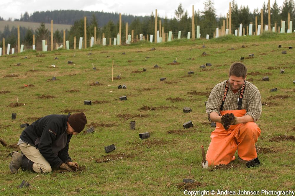 Planting pinot noir vines at Bergstrom Winery