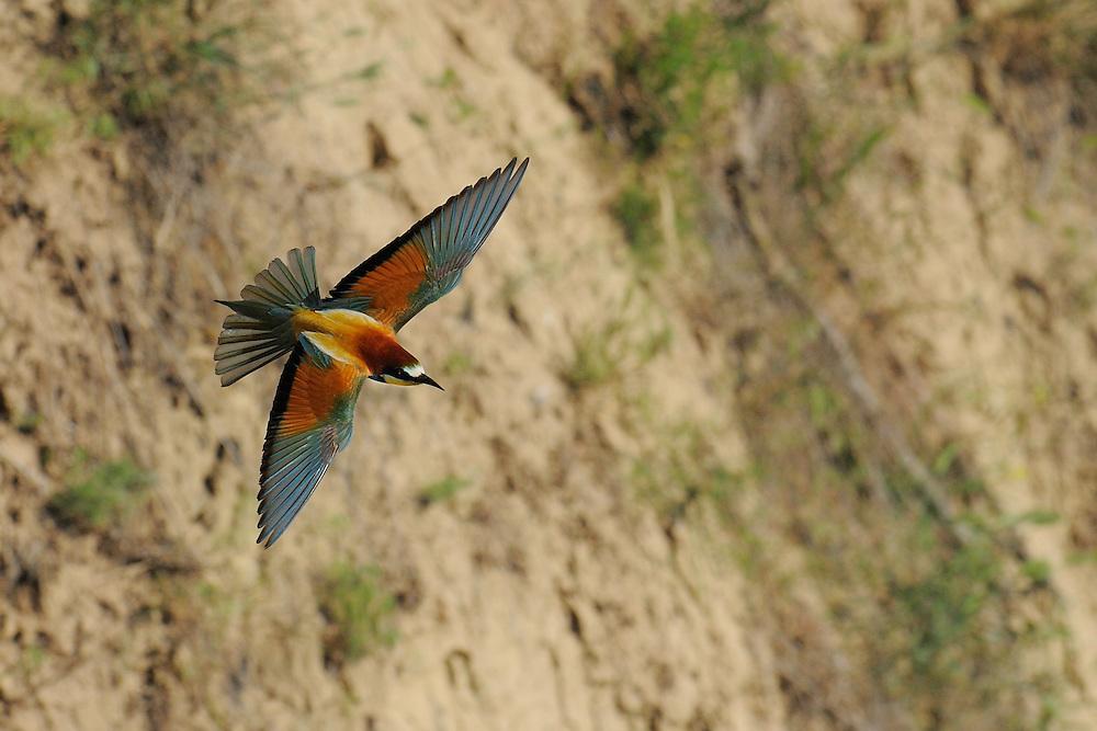 European bee-eater, Merops apiaster, at breeding site, Danube delta rewilding area, Romania