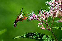 Clearwing Hummingbird Moth on a Joe Pye Weed Bloom. Summer Nature in New Jersey. Image taken with a Nikon D4 and 300 mm f/2.8 VR lens (ISO 100, 300 mm, f/2.8, 1/2000 sec).