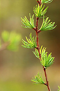 Larch needles blooming in spring. Yaak Valley in the Kootenai National Forest, Purcell Mountains, northwest Montana
