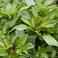 Siam Queen Thai basil (Occium basilicum var. thyrsiflorum 'Siam Queen')