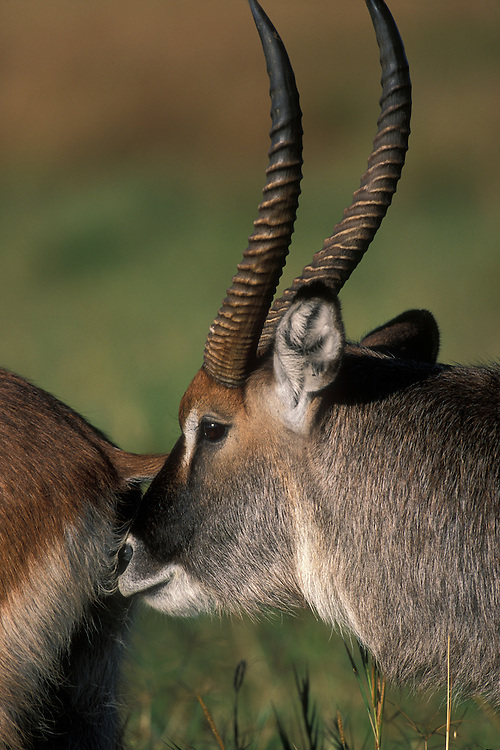 Kenya, Masai Mara Game Reserve, Male Waterbuck (Kobus ellipsiprymnus) smelling Female's genitals during courtship