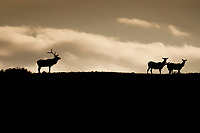 Early in the morning a silhouetted Bull Elk and his small group of cows travel across the ridge line.