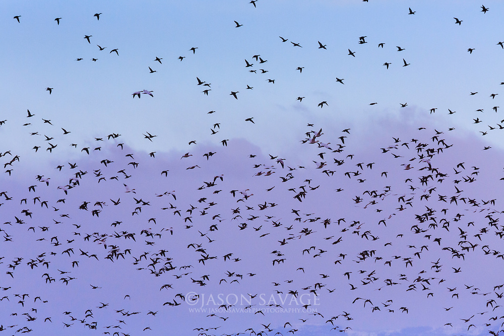 Snow Geese and Pintails over Freezeout Lake, Montana