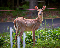Young doe wondering why I am looking at her. Backyard spring nature in New Jersey. Image taken with a Fuji X-T2 camera and 100-400 mm OIS lens (ISO 200, 400 mm, f/6.4, 1/20 sec).