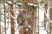 Snow Monkey in the woods on the way to Jigokudani Monkey Park Nagano Prefecture Japan
