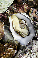 Copyright JIm Rice © 2013.Oyster on oyster shells