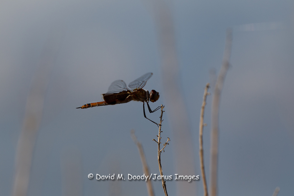 A dragon fly along the Colonial Parkway at thew York River. Chesapeake Bay Watershed, Late Spring, York County,  Virginia