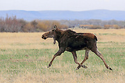 Running Cow Moose