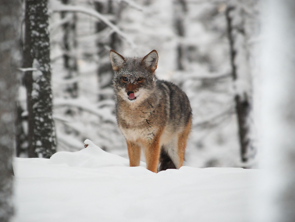 Coyote licking his lips
