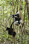 Indri <br /> Indri indri<br /> East Coast of Madagascar