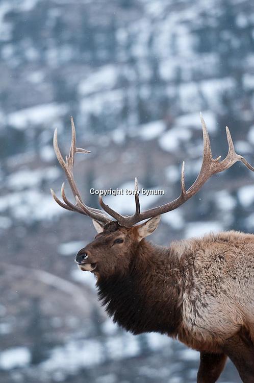 trophy bull elk mountain background winter