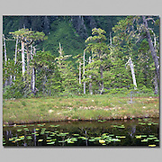 Alaska, black spruce trees surround a pond with water lily plants