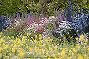 Yellow, pink, blue and white wild flowers in a seed sown urban meadow by Pictoral Meadows Ltd, Manor Lodge, Sheffield, UK