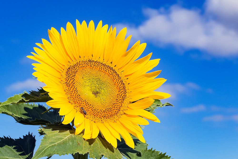 Bee pollinating a flowering sunflower head in morning sun near Ryeford, Queensland, Australia