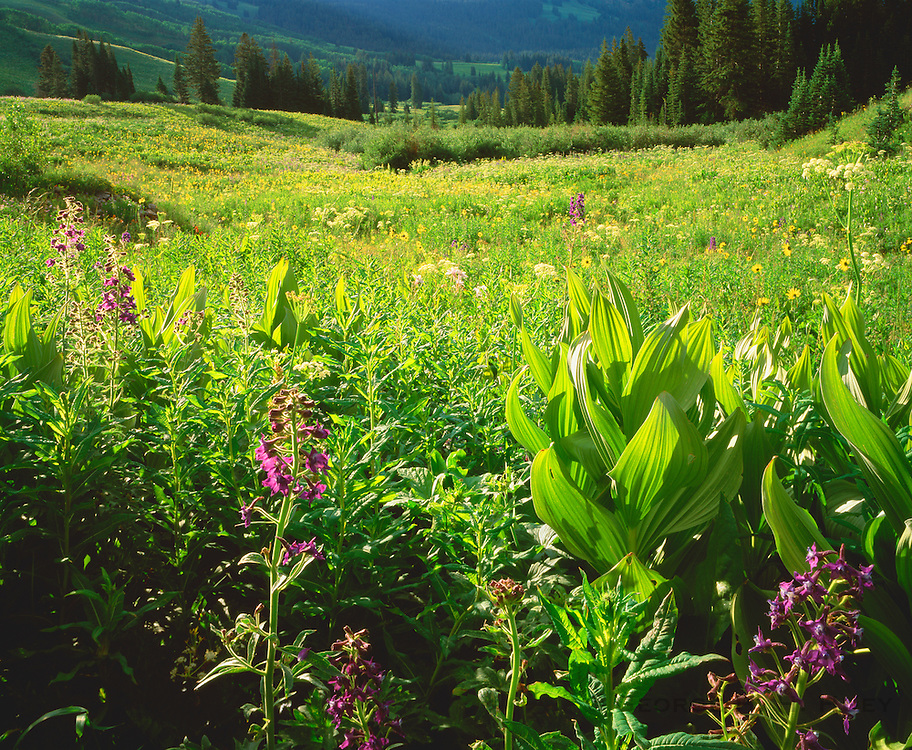 0442-1002 ~ Copyright: George H. H. Huey ~  View across Rustler Gulch with larkspur, corn lilies, cow parsnips and sunflowers. West Elk Mountains. Gunnison National Forest, Colorado.