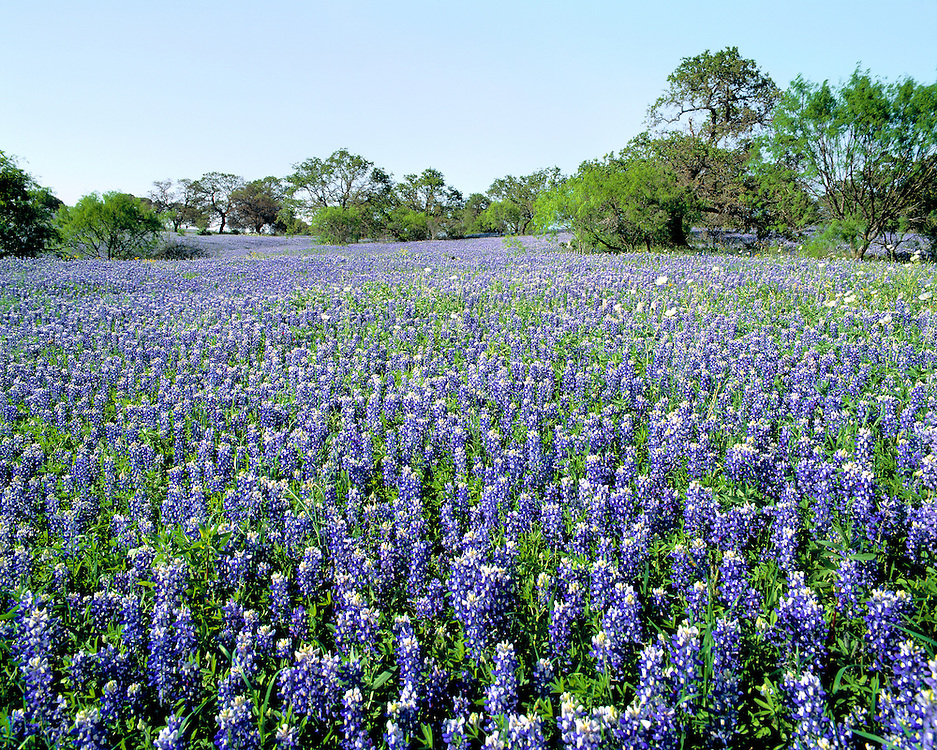Bluebonnets, also known as lupine, cover the ground of Hill Country, Texas.