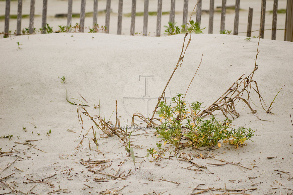 Vegetation growing amongst dead grass on sand dune in Pawleys Island, South Carolina