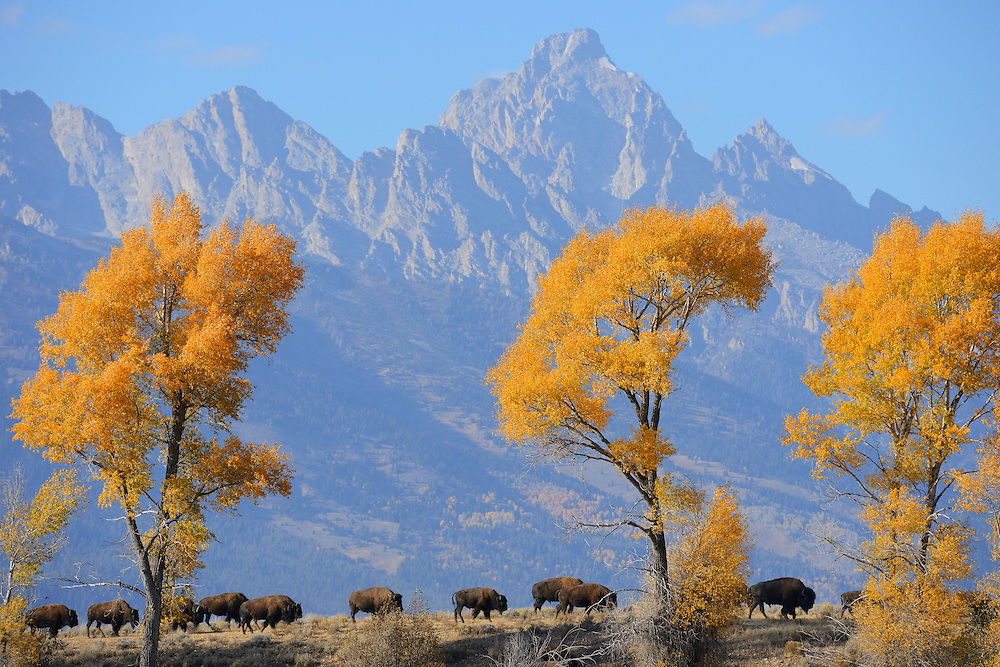 American Bison, Bison bison, Grand Teton National Park, Wyoming, USA