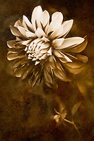 Vintage style portrait of a stunning dahlia.