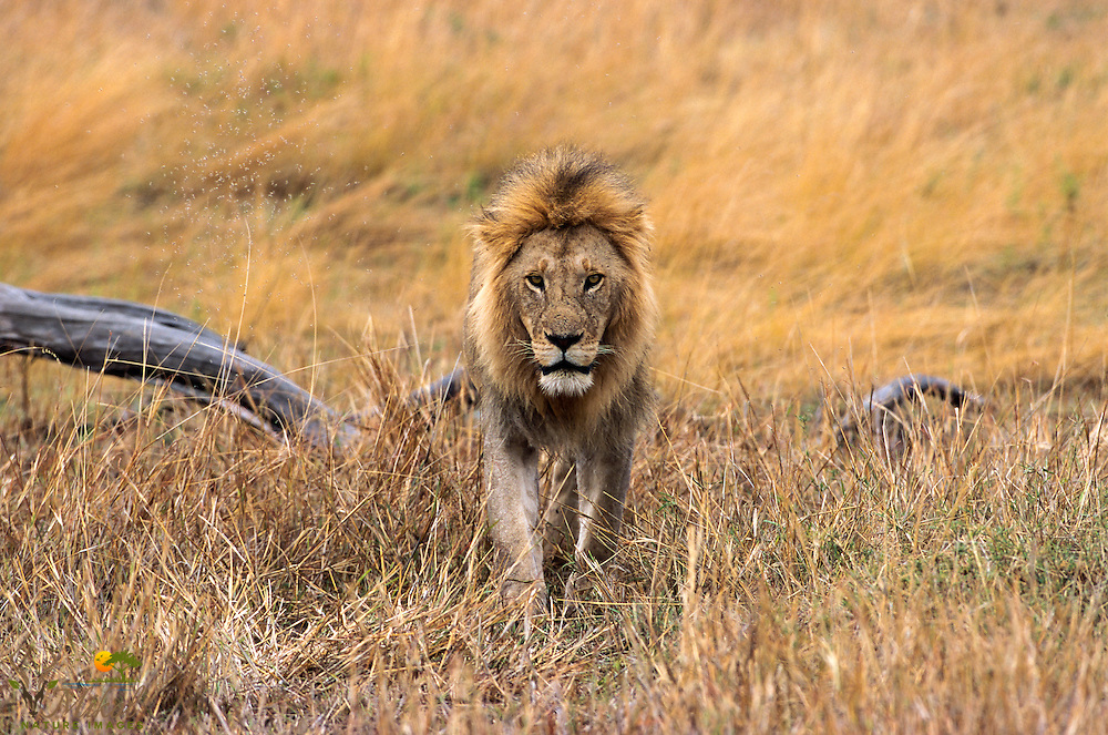 Lion standing in grass looking menacingly at camera, log in back ground, termites in background.