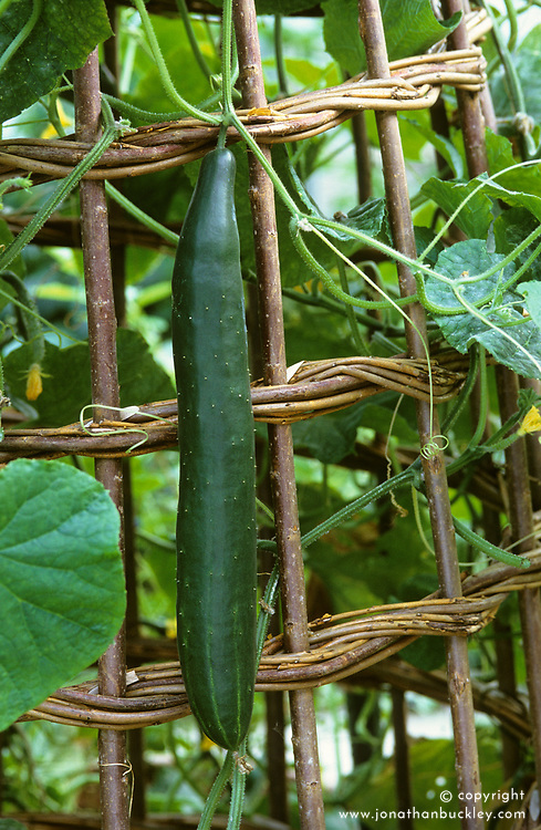 Cucumber 'Burpless Tasty Green' growing on a woven willow teepee