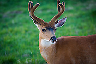 Columbian black-tailed deer (Odocoileus hemionus columbianus) is found in western North America, from Northern California into the Pacific Northwest and coastal British Columbia.