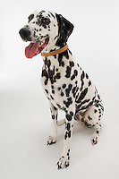 Dalmatian sitting mouth open