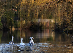 © Licensed to London News Pictures. 29/12/15<br /> York, UK. <br /> <br /> A family of swans make their way down the River Foss as flood water begins to subside on Huntington Road in York. Further rainfall is expected over coming days as Storm Frank approaches the east coast of the country.<br /> <br /> Photo credit : Ian Forsyth/LNP