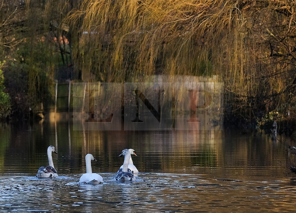 &copy; Licensed to London News Pictures. 29/12/15<br /> York, UK. <br /> <br /> A family of swans make their way down the River Foss as flood water begins to subside on Huntington Road in York. Further rainfall is expected over coming days as Storm Frank approaches the east coast of the country.<br /> <br /> Photo credit : Ian Forsyth/LNP